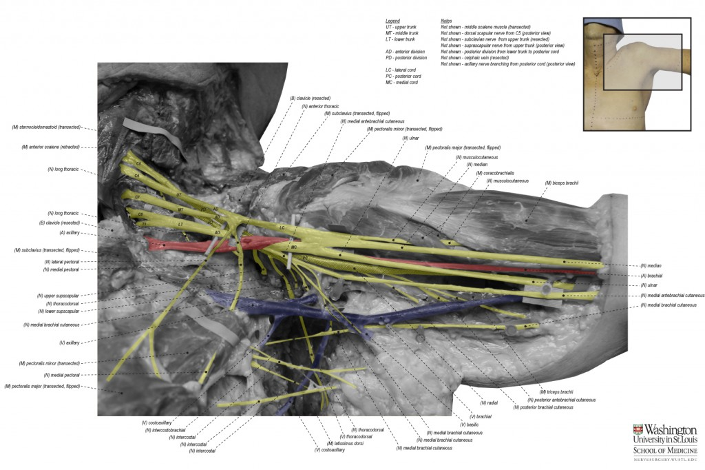 AP-Brachial-Plexus---IMG_5304---BW